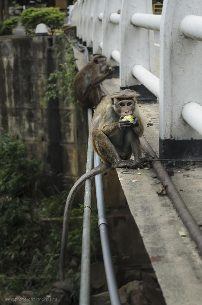 32. Фото. Будьте осторожны, встретив на Шри-Ланке обезьян. В отчете о поездке за рулем машины по Таиланду в феврале 2015 года я рассказал, как мы чуть не подрались с ними (640, 55, 5.6, 1/400)
