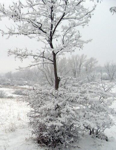 Снежное дерево, снежный куст