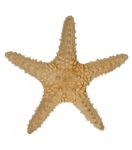 SD NV STARFISH.png