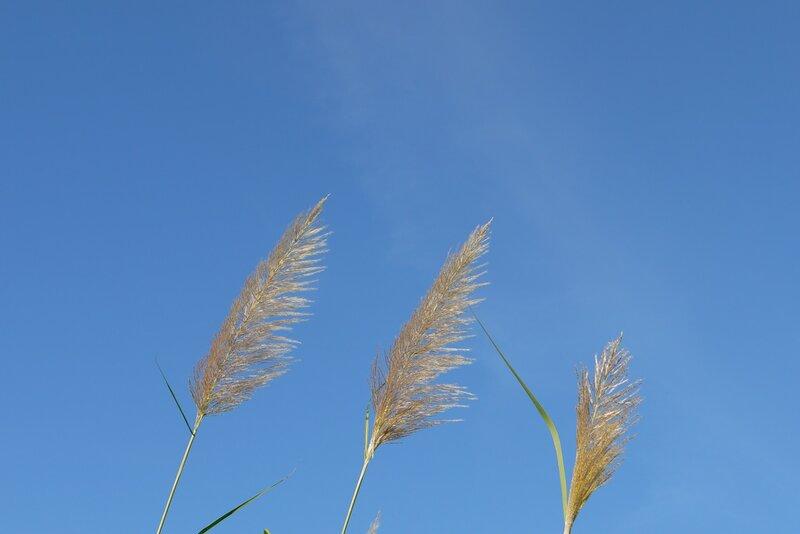 Blossoming sugarcane