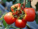 Сорт томат