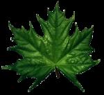Маленькие кленовые листки с восковым блеском Листья Листья и деревья...