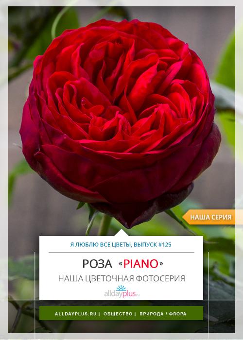 Я люблю все цветы, выпуск 125 | Роза - «Королева цветов» | «Piano».