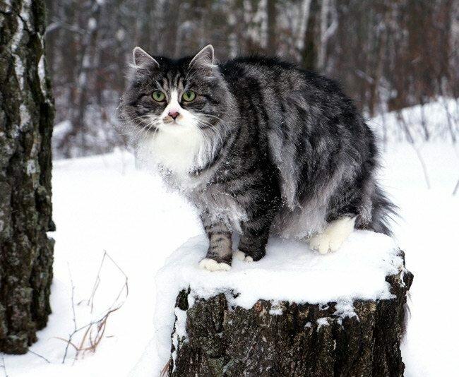 сибирская кошка питомник сладкое пятнышко
