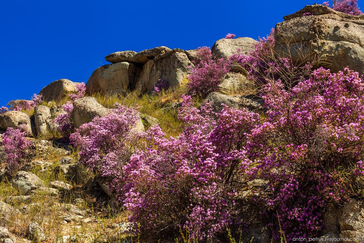 Цветущий маральник. Алтай