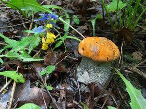 Осиновик жёлто-бурый (Leccinum versipelle)