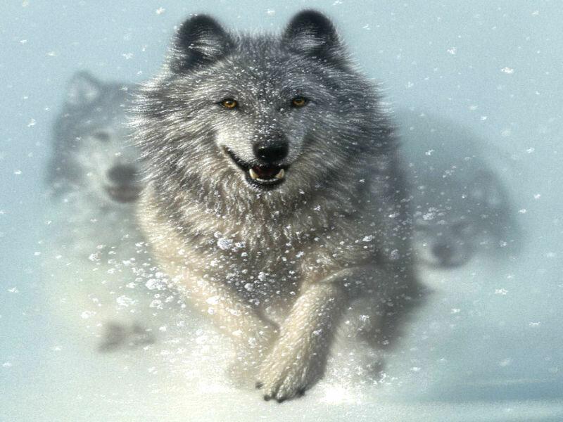 желательно, волк уходит от погони картинки магазине