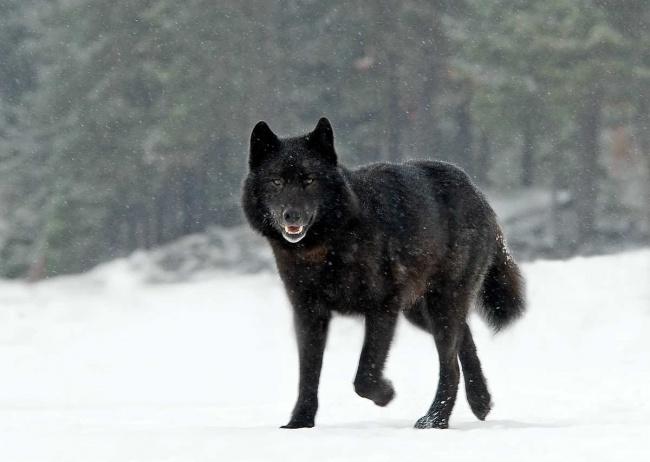Волк среди людей (10 фото)