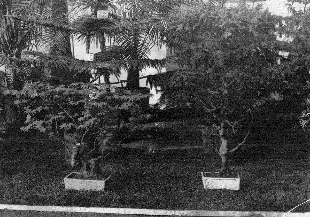 03. Мимозы - экспонаты выставки. 1908
