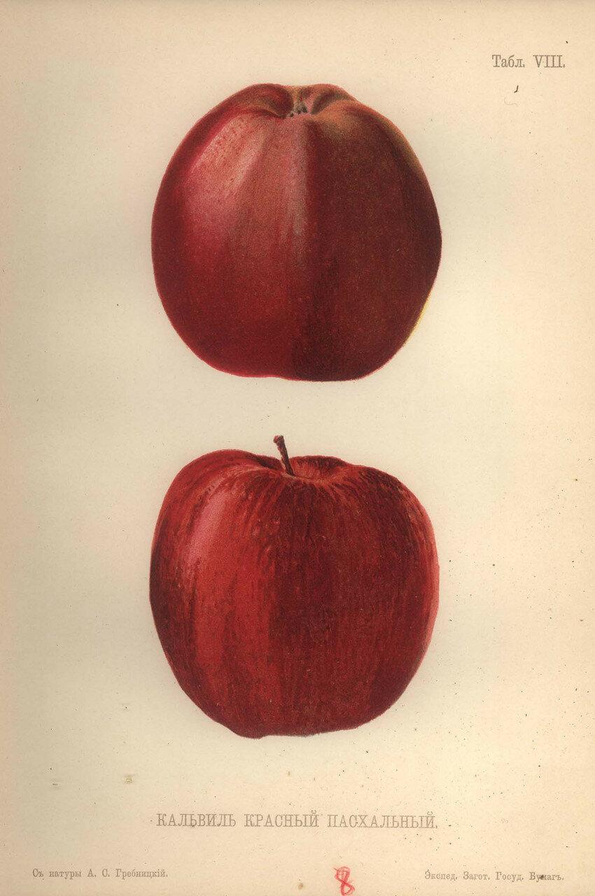 08. Кальвиль красный пасхальный