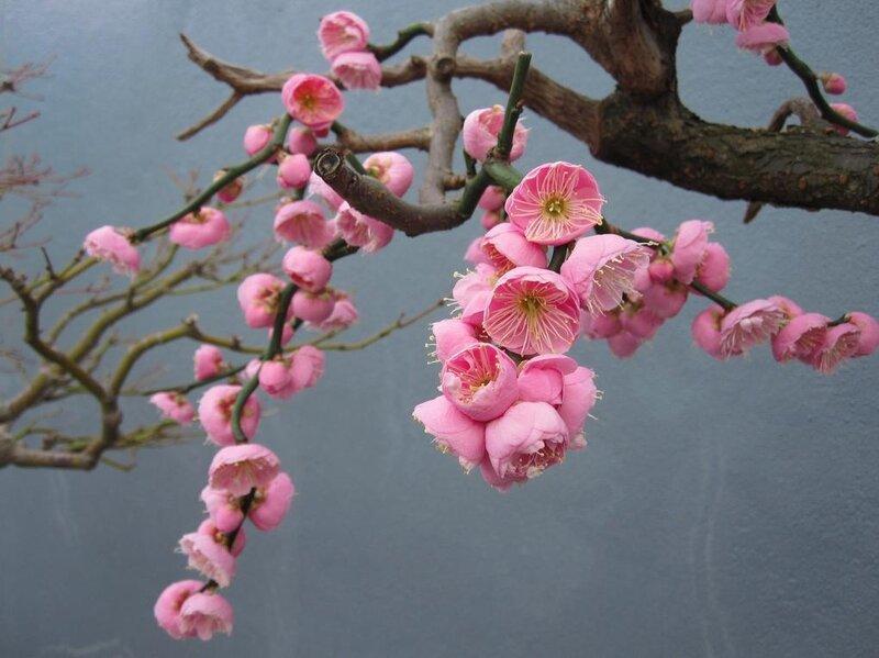 Картинки японские сливы