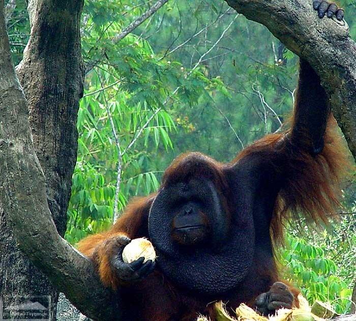 """Орангутаны в """"Сафари"""""""