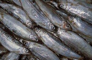 В Приморье изъято свыше 20 тонн просроченной тихоокеанской сельди