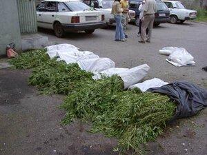 Приморские участковые изъяли более 200 кустов конопли