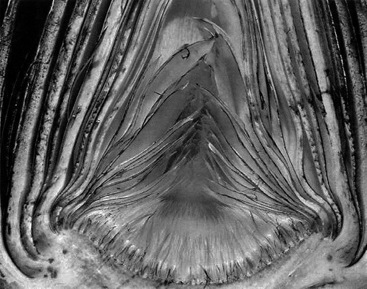 Edward Weston, Artichoke Halved