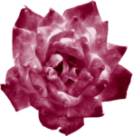Crazeds_flower1_TH.png