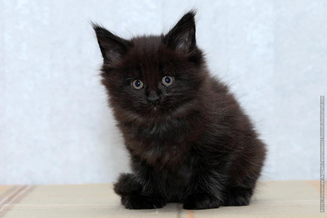 купить в Москве котята мейн кун