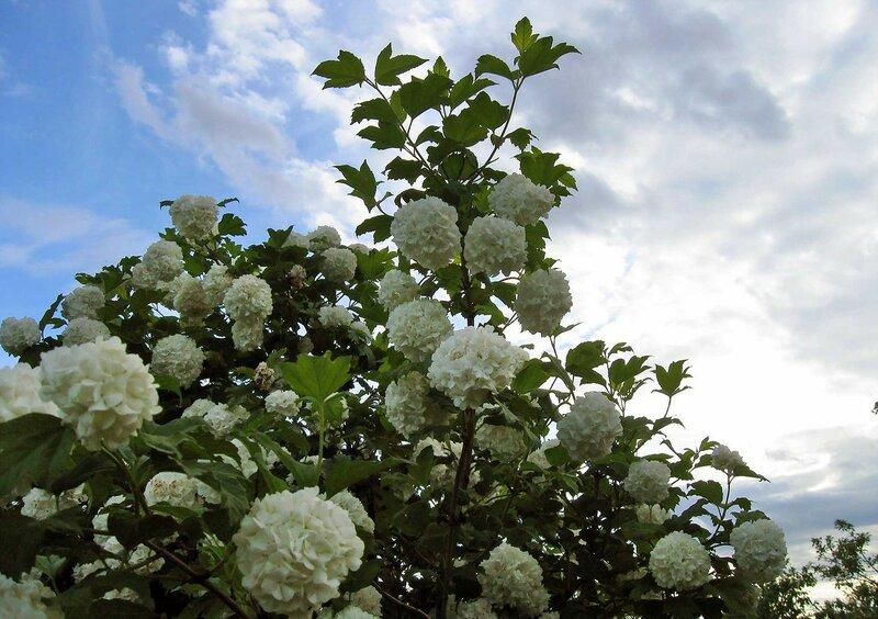 Сад. Июнь 2015 (18).jpg