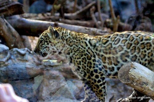 леопард, лоро парк