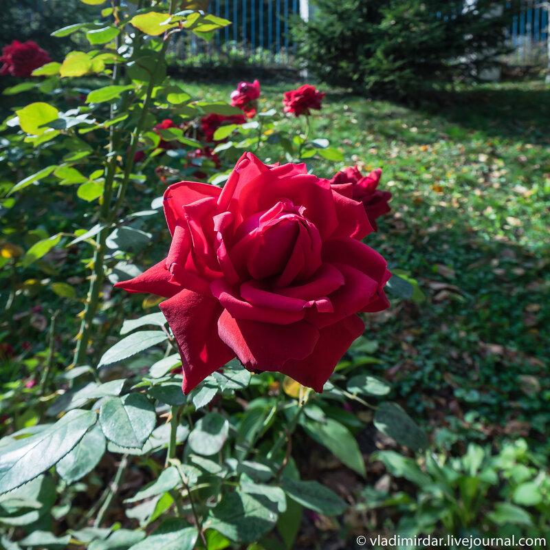Роза в парке церкви Рождества Христова в Беседах