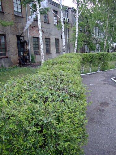 20110606 - Стрижка деревьев04