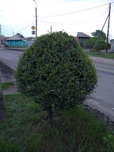 20110606 - Стрижка деревьев13