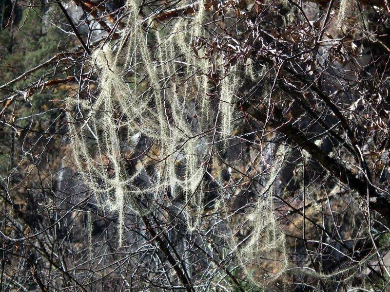 Гималайский мох на ветках гималайской берёзы.
