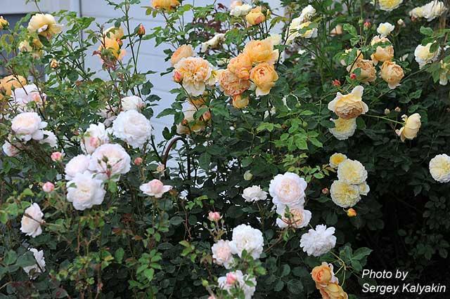 Rosa Crocus Rose (8).JPG