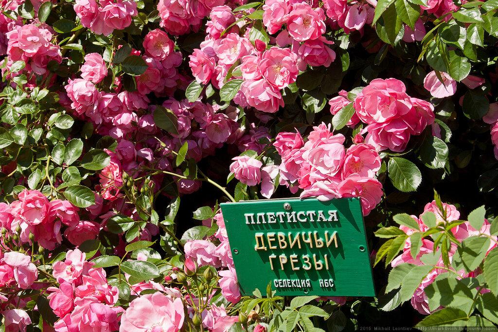 Розы в Никитском саду