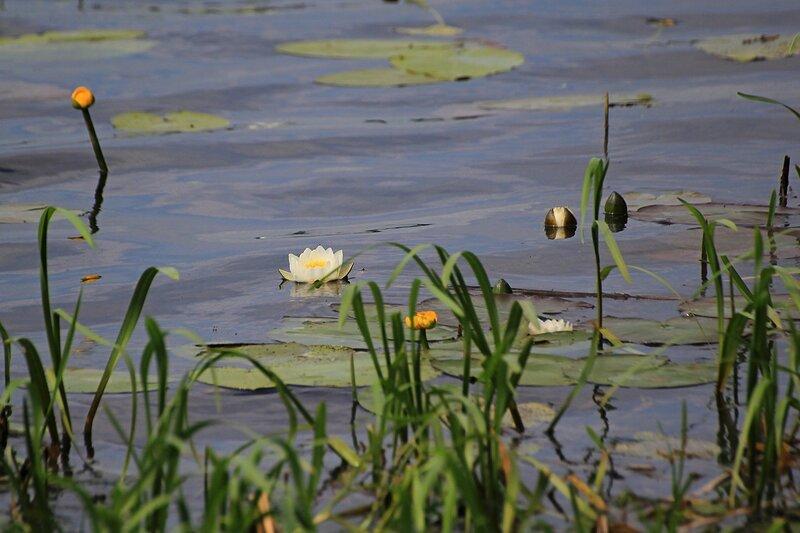 Кувшинки  (лат. Nymphaea candida) и кубышки (лат. Nuphar lutea) в зарослях травы у берега Чёрного озера в июне