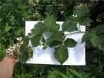 для сравнения кисть Торнфри, чуть скромнее, хотя некоторые плодушки достигают полутораметровой длины.