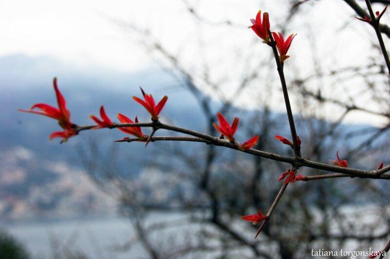Первые листики гранатового дерева