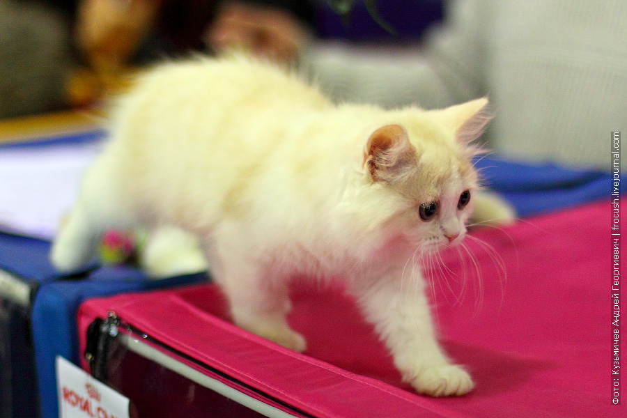 Шотландская длинношерстная. Котенок. Питомник «Diamond-cats»