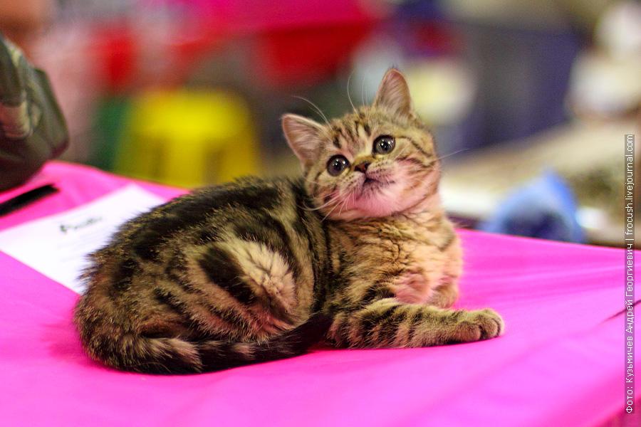 Котенок хайленд страйт на международной выставке кошек «Содружество-2012»