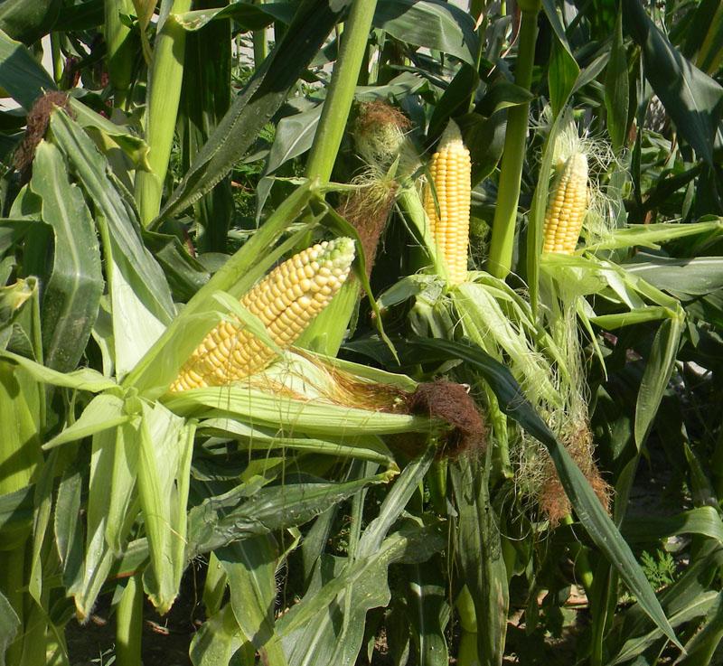 кукуруза американского скороспелого сорта для быстрой варки