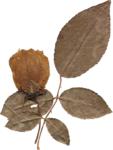 JenU_Flower_DriedAntiqueRoseWithLeaves.png
