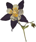 JenU_Flower_DriedColumbine.png