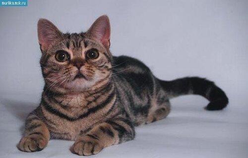 Порода азиатского кота
