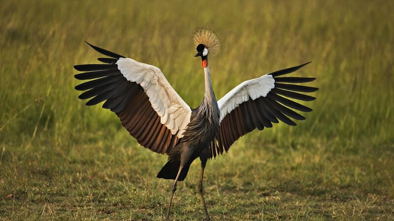 birds-cranes-grass-feathers-color-hd-free-animals-