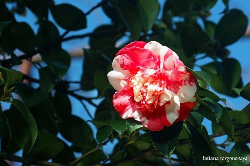 Цветок камелии