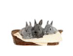 61-VBM_PAQUES_LAPINS_BEBES_GRIS_PNG_240311 altered.png