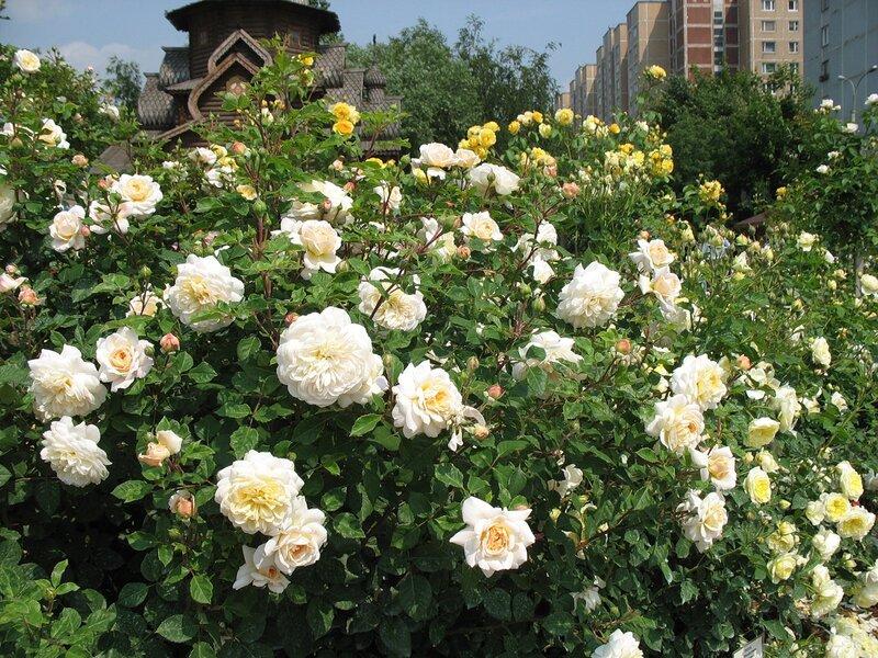 Роза кустарниковая Крокус Роуз (Crocus Rose) David Austin 2000 Посадка 2008 года