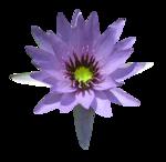 «Violet_Surprise» 0_6408c_3ef921f_S