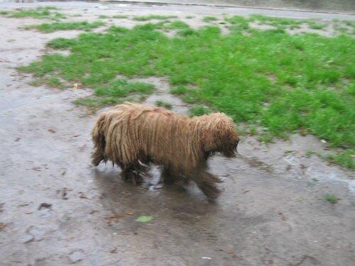 Собака в дредах