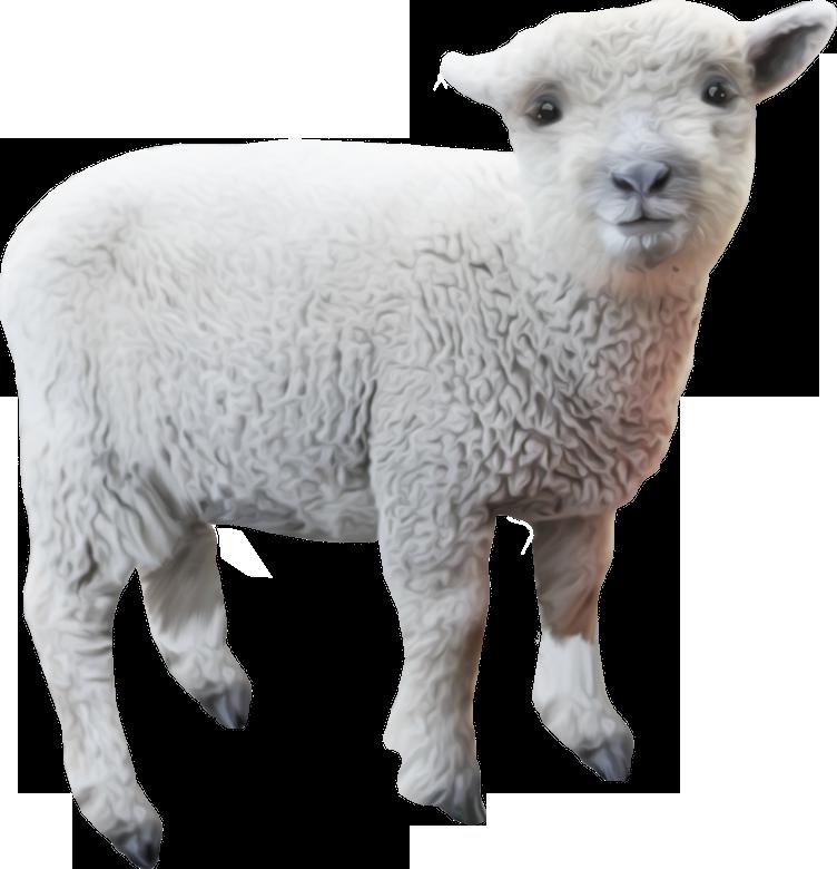 Ангелами, картинки овца для детей по одному