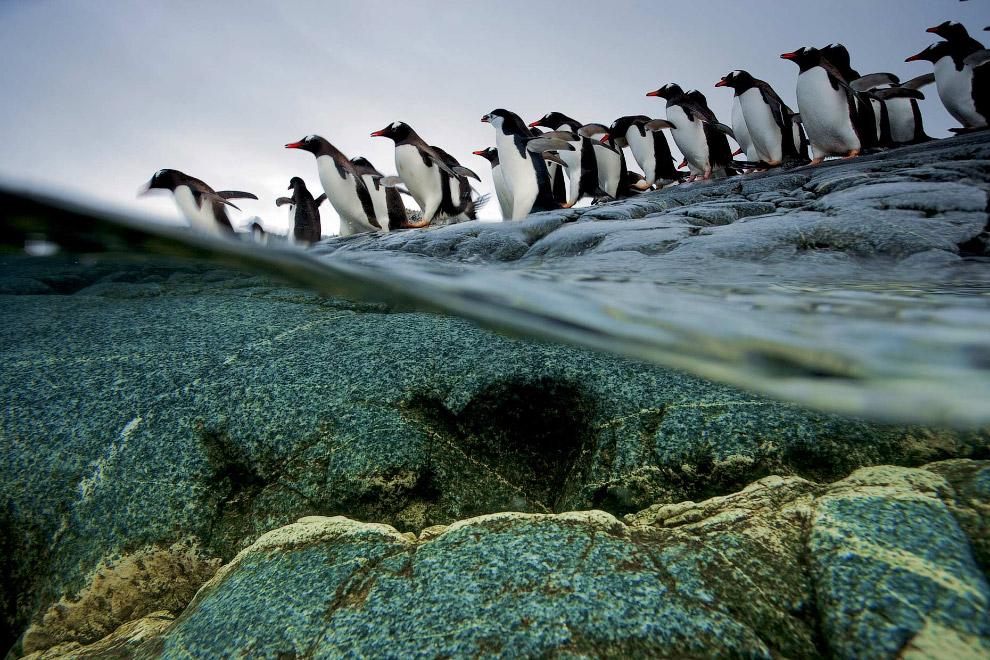 37. Морской слон на берегу Фортуна-Бей, остров Южная Георгия.