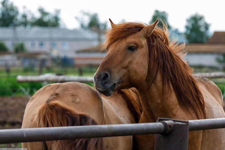 Уфимский конный завод (26 фото)