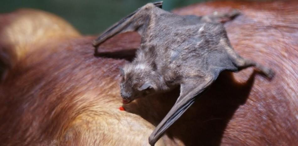 Ученым известно порядка тысячи видов летучих мышей, но только три из них являются пьющими кровь вамп