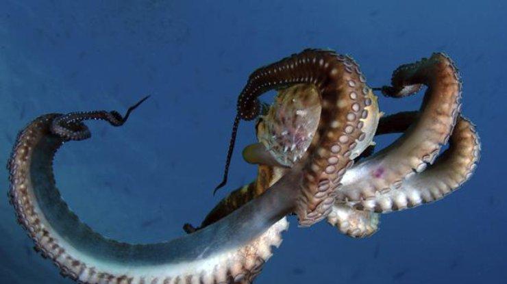 Осьминоги «ходят наохоту» сжалами медуз