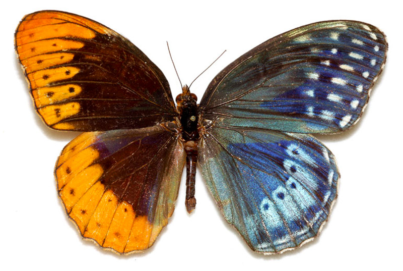 Kim Davis, Mike Stangeland, and Andrew Warren , Butterflies of America In the realm of genetic anoma